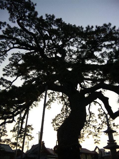 藤枝久遠の松