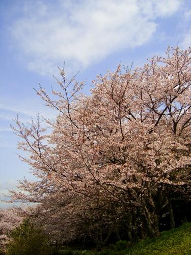 Sakura231